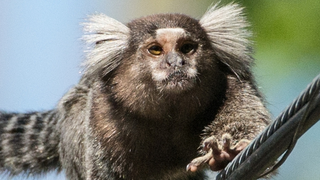 Marmoset, similar to the one pictured, was found in a cage in Paul Murtagh's car