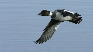 Fewer birds like the Goldeneye duck are spending winter at Lough Neagh