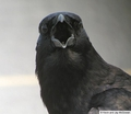 Crows and Grudges