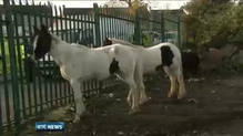 Over 80 horses impounded in day-long operation in Cork