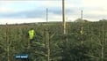 Christmas tree growers prepare for busy December