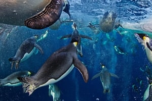 Emperor Penguins, Ross Sea (Paul Nicklen, Canada, National Geographic magazine)