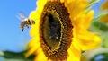 Honeybee Pollination