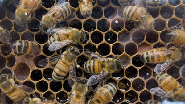 Bees vital to nature have been in decline