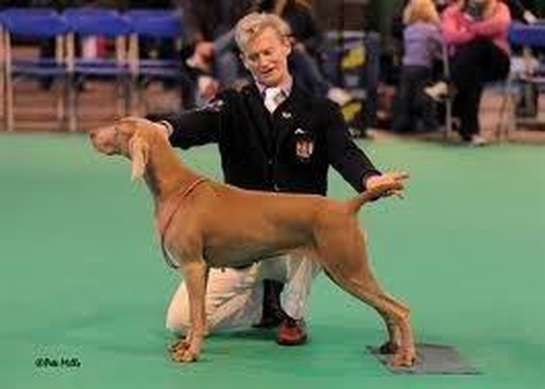 Showing at Crufts