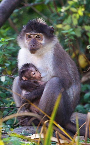 A baby mangabey joined the Dublin Zoo family