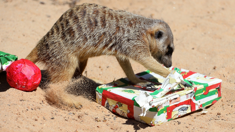 A meerkat unwraps an early Christmas present at Sydney's Taronga Zoo