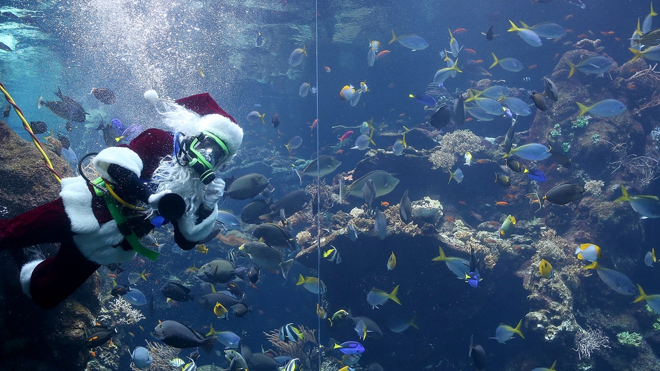 California Academy of Sciences diver George Bell wears a Santa Claus suit as he dives in the Academy's Philippine Coral Reef tank in San Francisco, California