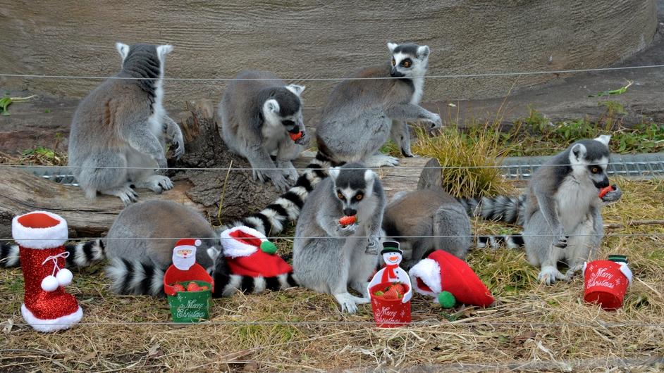 Ring-tailed lemurs eat strawberries at Tokyo's Ueno Zoo