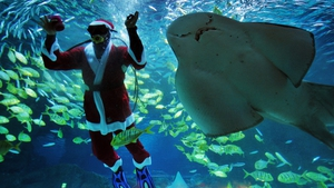 A diver dressed in a Santa Claus costume swims with fish at the Coex Aquarium in Seoul, South Korea