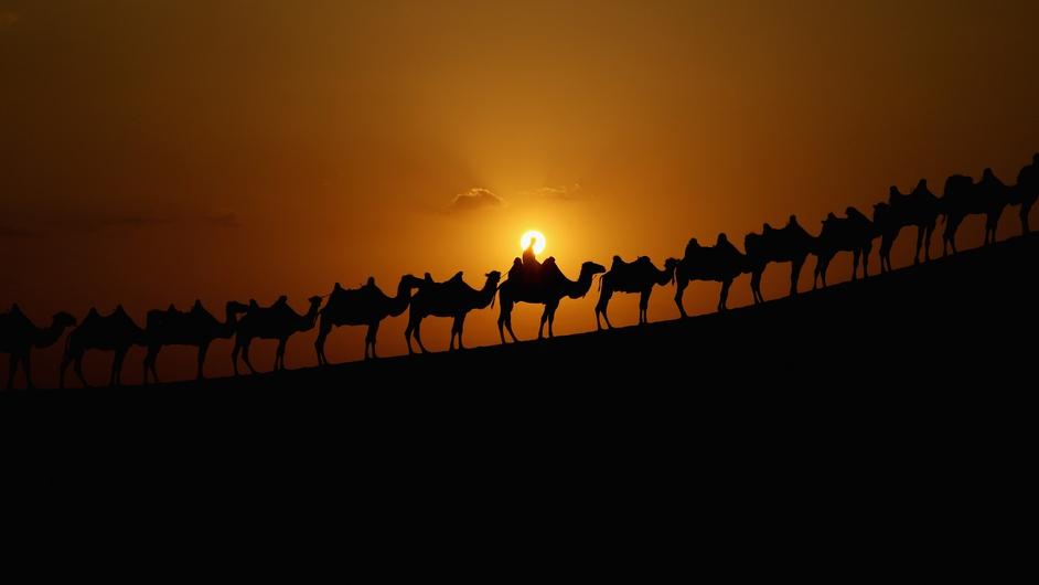 Bactrian camels walk on the dunes of Xiangshawan Desert in China