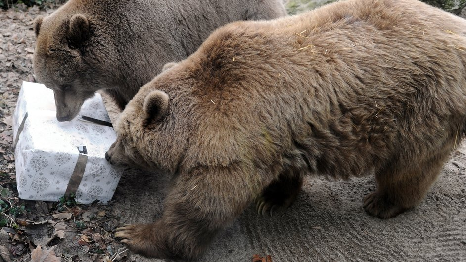 Brown bears look at a package filled with treats and wrapped as a Christmas gift at the zoo in La Fleche, western France