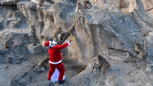 A zookeeper wearing a Santa Claus costume feeds fruit and vegetables to Japanese macaques at Tokyo's Ueno Zoo
