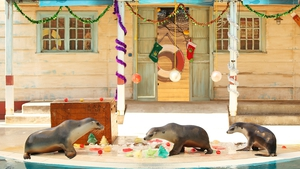 Australian fur seals inspect Christmas treats at Taronga Zoo