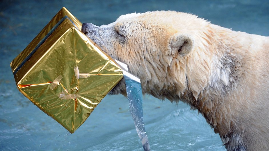 A polar bear opens a package filled with food and wrapped as a Christmas gift at the zoo in La Fleche, western France