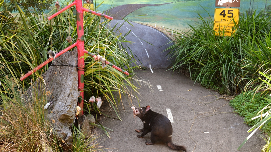 A Tasmanian Devil chews on dead mice and chicks as animals at Sydney's Taronga Zoo received Christmas-themed treats in their enclosures