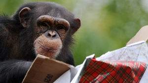 A chimpanzee looks for treats as he opens a package wrapped as a Christmas gift at the zoo in La Fleche, western France
