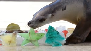 A seal inspects an ice block filled with fish as animals at Sydney's Taronga Zoo