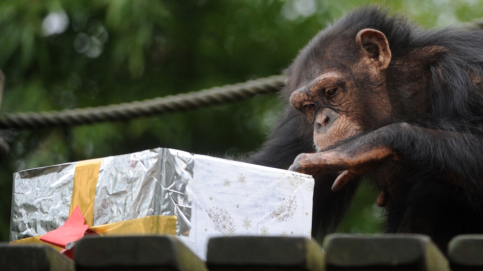 A chimpanzee opens a package filled with treats at the zoo in La Fleche