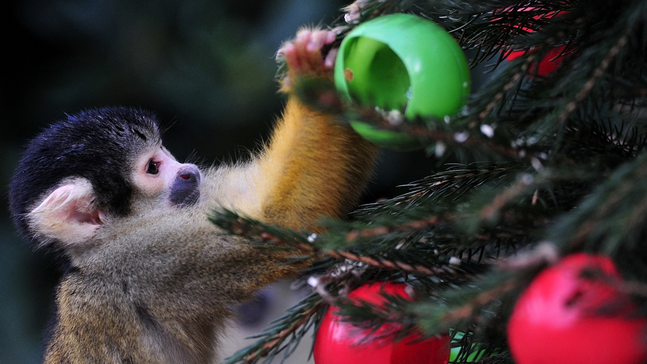 A squirrel monkey eats from christmas tree baubles filled with silkworms and crickets during a photocall at London Zoo