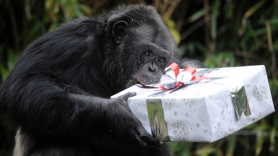 A chimpanzee opens a package filled with treats and wrapped as a Christmas gift in La Fleche