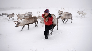 Eve Grayson feeds the Cairngorm Reindeer Herd in Aviemore, Scotland. Reindeer were introduced to Scotland in 1952 by Swedish Sami reindeer herder Mikel Utsi