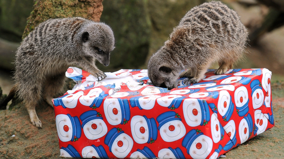 Meerkats look for mealworms in a Christmas gift at the Hanover zoo