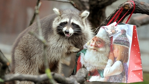 Washbear Bella checks a Christmas bag of fruit and nuts at her enclosure in the zoo in Hanover, Germany