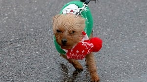 A small dog wearing a Christmas jumper is blown around in Sidmouth, England