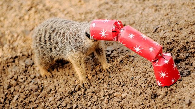 A meerkat gets its head stuck in cracker at London Zoo