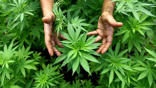 MCRI says vulnerable people may have been trafficked into Ireland to work in cannabis growhouses