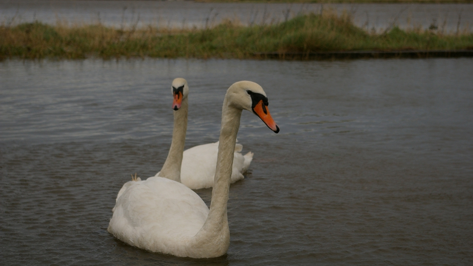 A pair of swans make the best of a bad situation at high tide in Mornington, Co Meath (Pic: John Reynolds)