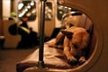 Moscow's Commuting Dogs