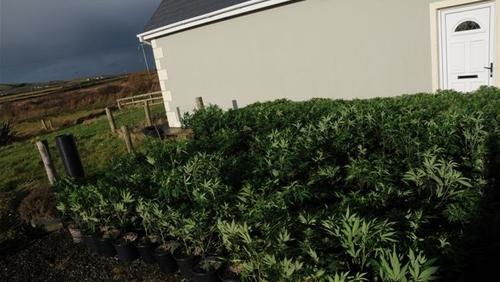 About 600 cannabis plants were seized