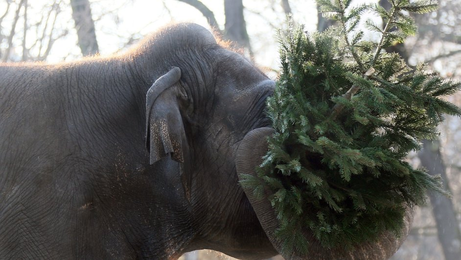 An elephant tries to eat a Christmas tree at the Zoologischer Garten zoo in Berlin