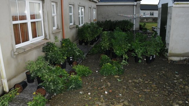 The plants found in Lislanahan have an estimated street value of €160,000