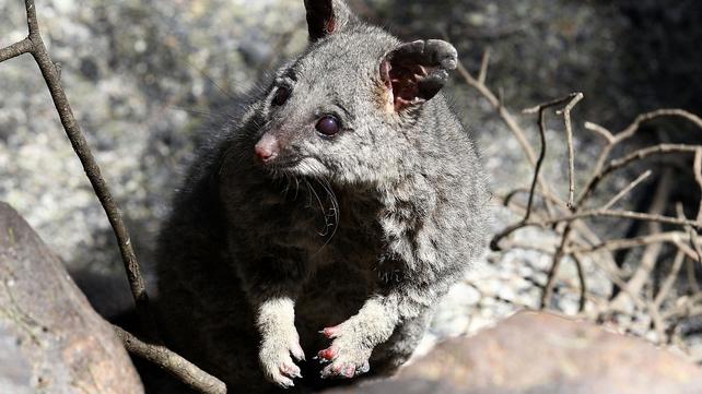 A possum that survived a fire near Perth