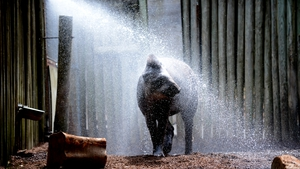 Tiquie the Brazilian Tapir enjoyed a hose off to cool from the heat at Taronga Zoo in Sydney last week, when temperatures neared 43C