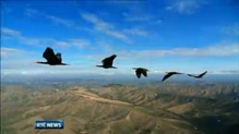 Scientists unlock secret of the flying V formation