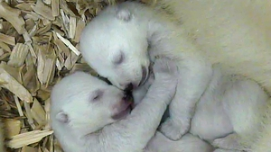 A handout provided by the Hellabrunn Zoo shows a still from a surveillance camera with the twin polar bears born at the zoo last week