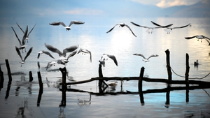 Seagulls fly over Lake Ohrid near the city of Ohrid in Macedonia