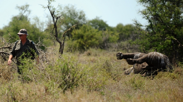 Kobus De Wet, an environmental crime investigator, walks past the carcass of a three-day-old rhinoceros killed by poachers at Houtboschrand in the southern part of Kruger National Park
