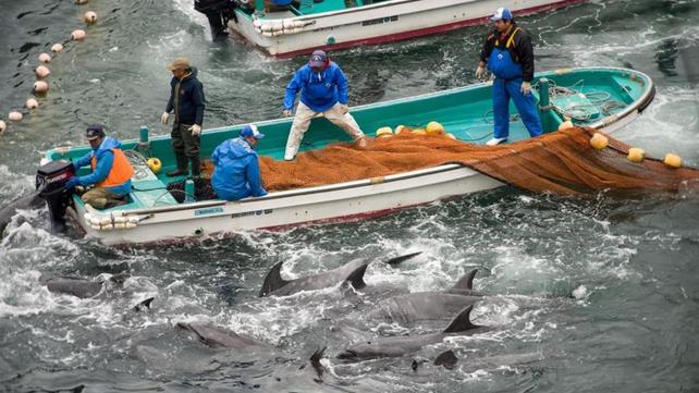 Activists say several dolphins were killed behind tarpaulin sheets (Pic: EPA)
