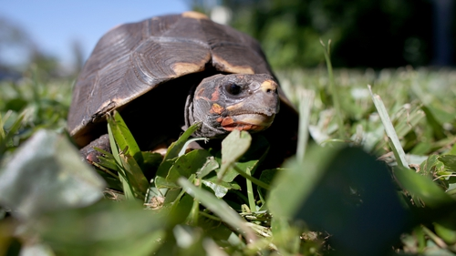 Tortoises have a long lifespan, often living beyond 100 years