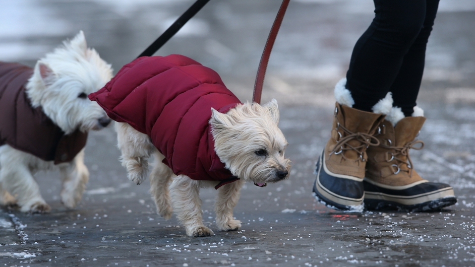 Terriers Frankie and Sunny walk through salt on a sidewalk near Central Park in New York