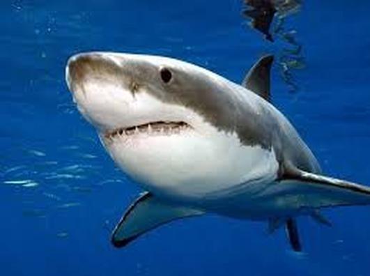 Lydia The Shark