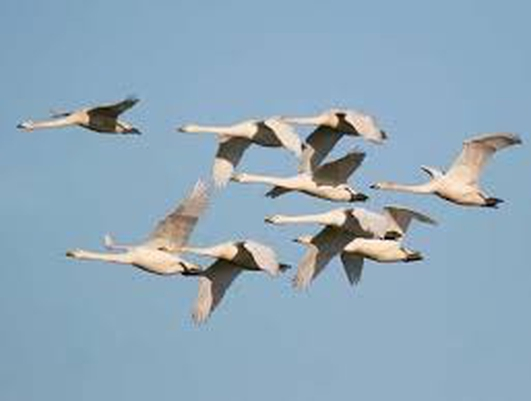 Training Trumpeter Swans