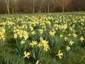 Daffodils are Flowering in January