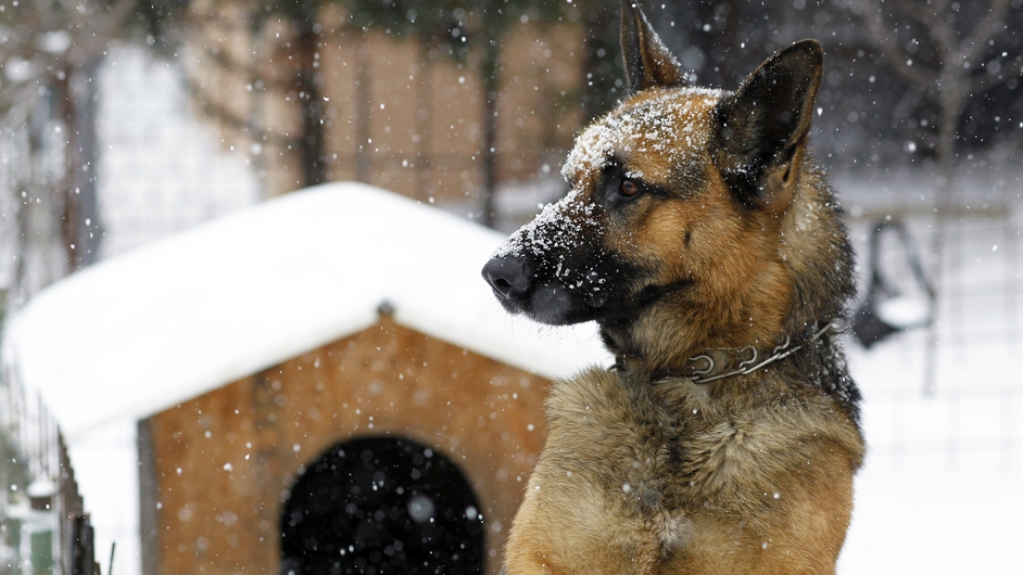 A German Shepherd stands in a garden as snow falls in Bucharest