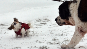 Dogs struggle with the wind in Romania